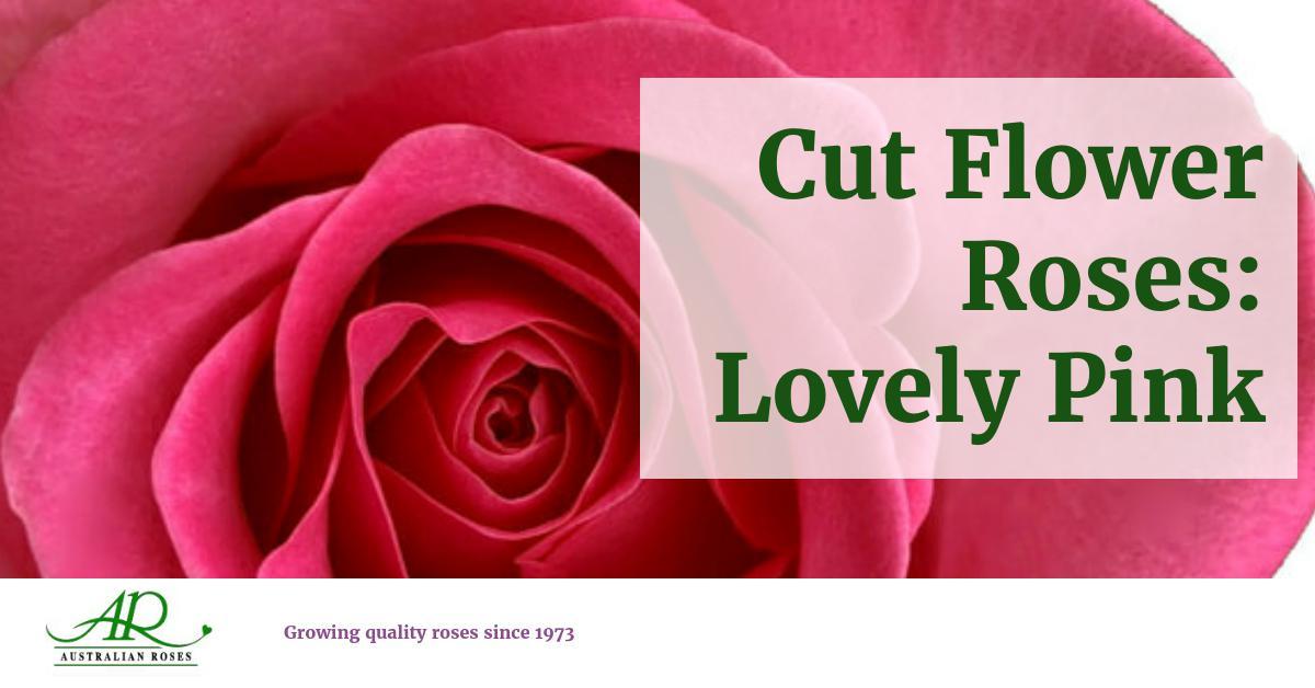 Meilland Cut Flower Roses Lovely Pink